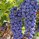 2-duze-kiscie-czerwonych-winogron-wiszace-na-winorosli-400-41529927